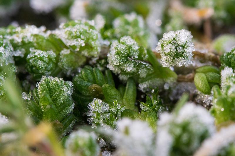 Frosne planter i snøen